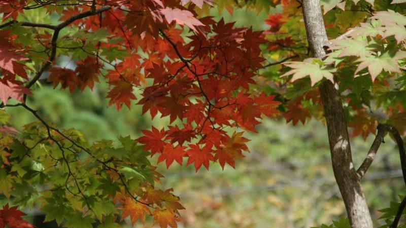 槍ヶ岳の初冠雪と最近の紅葉